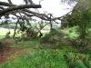 Pine tree at beginning of the Totara loop