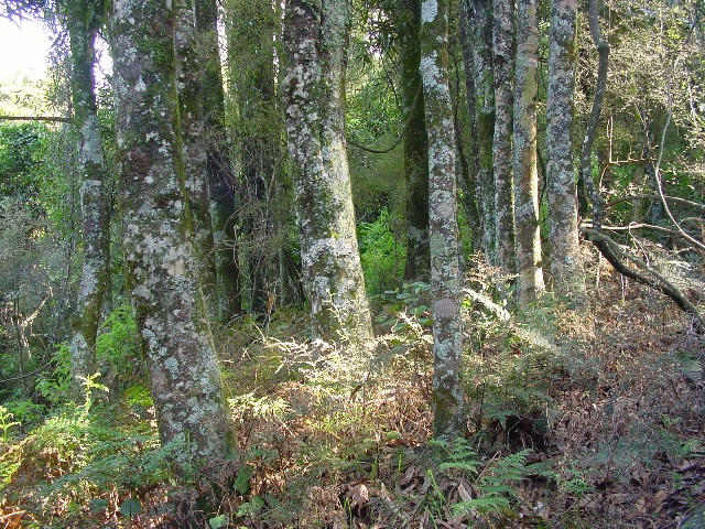 A grove of the Rewarewa trees that give Rewanui its name.