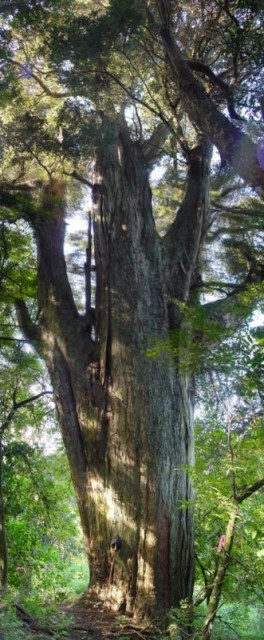 One of the magnificent old trees to be seen in the park. This Totara is on the Totara Loop and is one of several to be seen.
