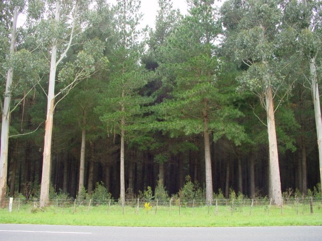 A view of the forest from the State Highway 2. The row of Eucalypts along the front was intended to provide a screen for the pines.